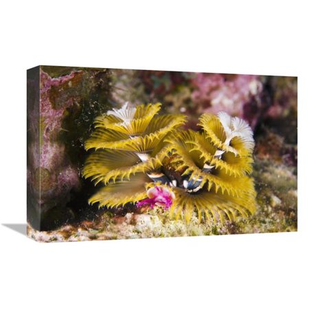 12 x 18 in. Christmas Tree Worm Filter Feeding While Attached to Great Star Coral, Bonaire, Netherlands Antilles, Caribbean Art Print - Pete Oxford ()