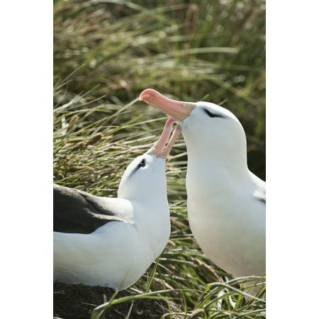 Black-browed Albatrosses (Thalassarche melanophrys) courting West Point Island Falkland Islands Canvas Art - Daisy Gilardini Design Pics (12 x 19)