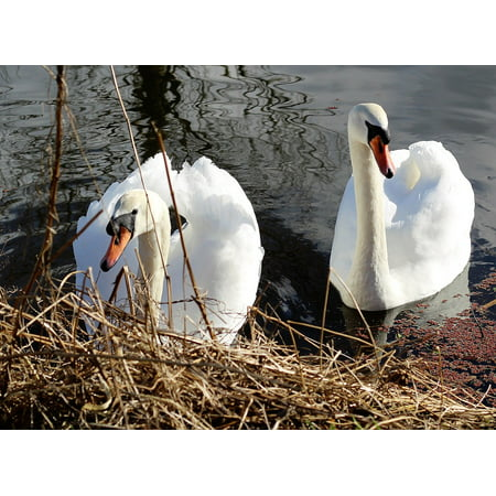 Swan Wing (Canvas Print Water Bird Nature White Wing Swan Beak Canal Stretched Canvas 10 x 14 )
