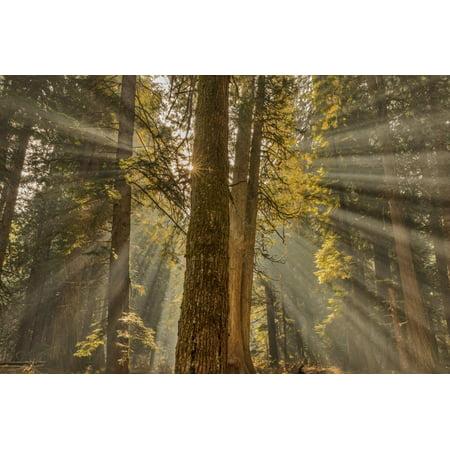 Sun Rays Penetrate Forest Floor at Ross Creed Cedar Grove in Kootenai National Forest, Montana Print Wall Art By Chuck (Homes For Sale In Cedar Grove Nj)