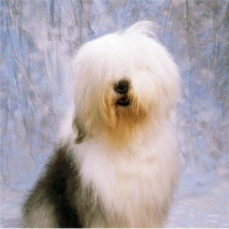 Old English Sheepdog Poster Print by The Irish Image Collection, 24 x 24 - Large - image 1 of 1