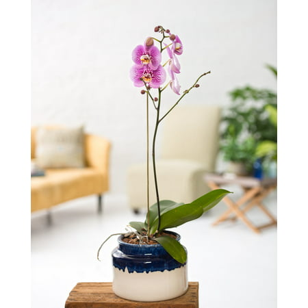 Tall Kennebunk Ceramic Orchid Cachepot (Orchid Supplies Pots)