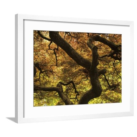 Pattern in Branches and Leaves of Japanese Threadleaf Maple Tree, Acer Palmatum Dissectum Framed Print Wall Art By Adam (Acer Palmatum Dissectum Crimson Queen Japanese Maple)