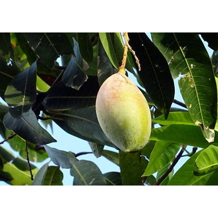 Mangifera Indica Mango - Canvas Print Tropical Mangifera Indica Fruit Mango Sweet Stretched Canvas 10 x 14