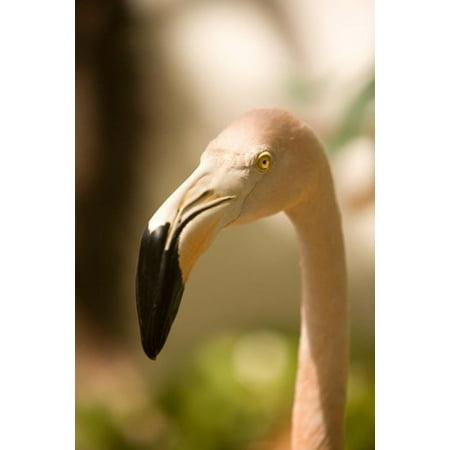 Caribbean Bonaire Flamingos Tropical Bird Canvas Art   John   Lisa Merrill  Danitadelimont  11 X 17