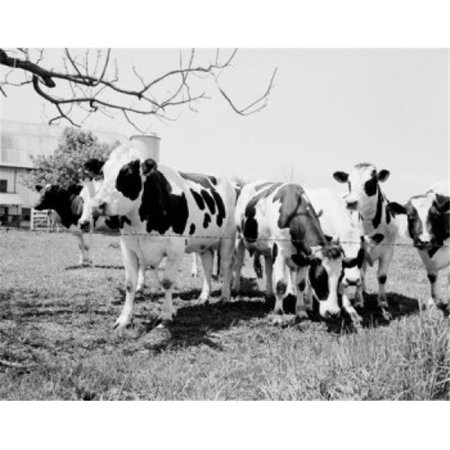 Posterazzi SAL255424671 Cows Grazing on Pasture Poster Print - 18 x 24 in. - image 1 of 1