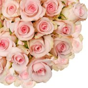 "Natural Fresh Flowers - Light Pink Roses, 16"", 125 Stems"
