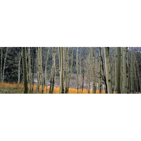 Aspen Trees, Colorado, USA Print Wall Art By Walter Bibikow