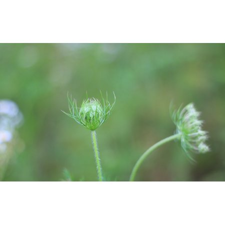 LAMINATED POSTER Wild Carrot Green Dream Small Fresh Wild Fennel Poster Print 11 x -