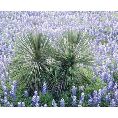 """ArteHouse Fine Art Print """"Yucca and Bluebonnets"""" by Artist Dennis Flaherty, Archival Paper, 18"""" x 24"""""""