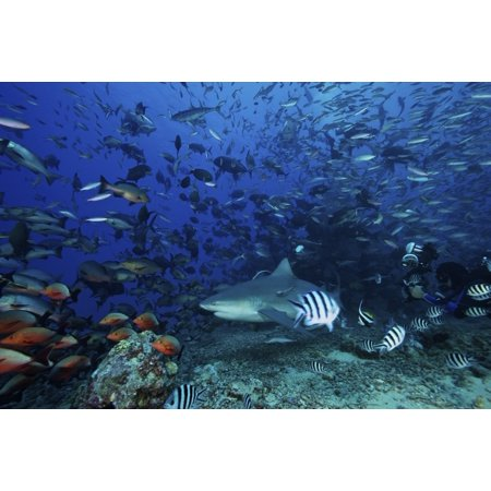 Rainbow Reef Shark - An underwater photographer takes a picture of a large bull shark surrounded by hundreds of reef fish Fiji Poster Print