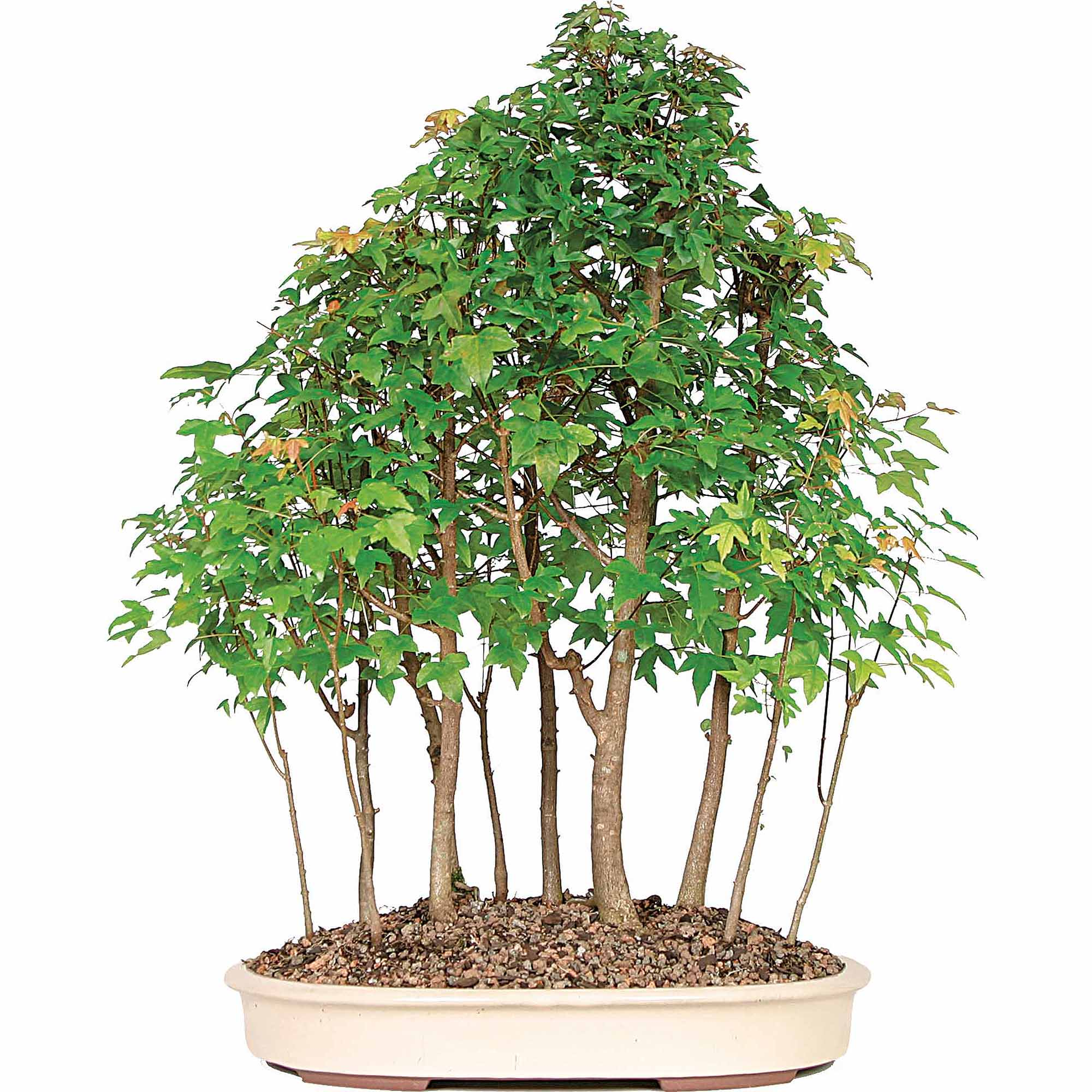 Trident Maple Bonsai Tree Grove by Brussel's Bonsai