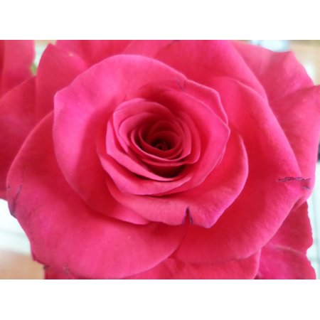 Laminated poster thorn rose poster 24x16 adhesive decal for Rose adesive