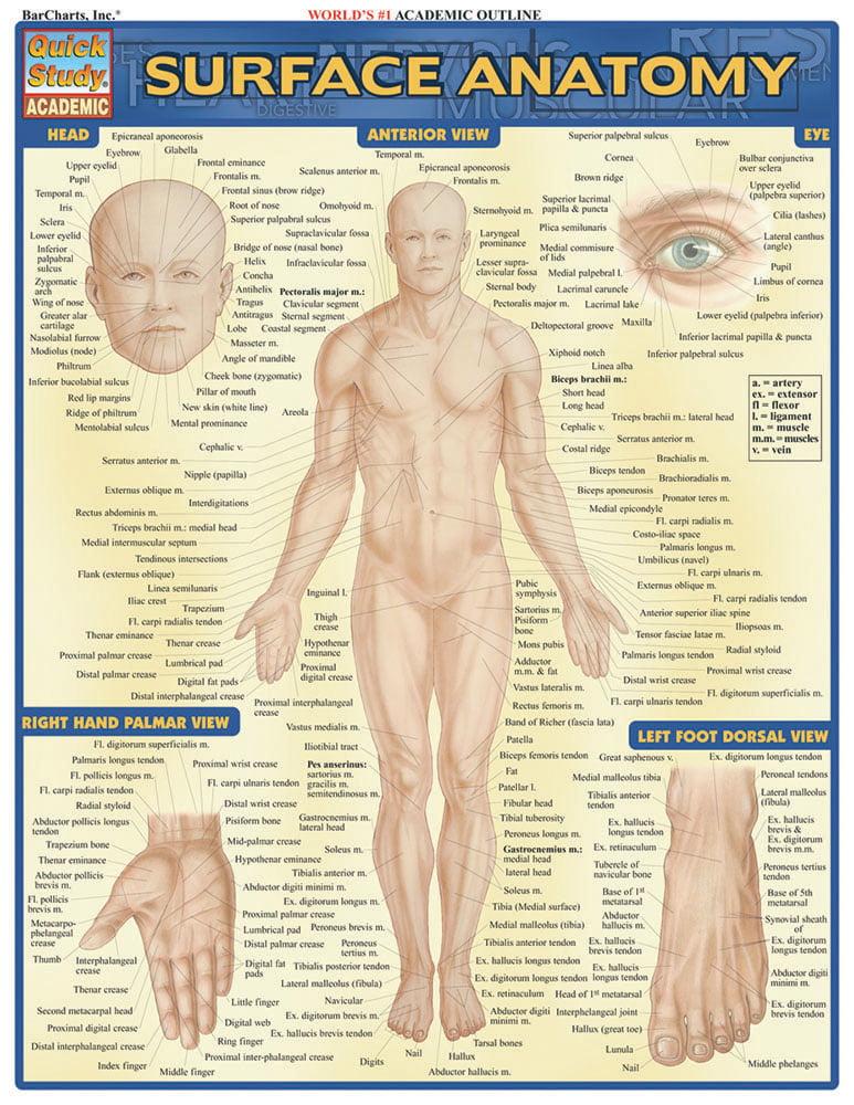 Surface Anatomy Walmart