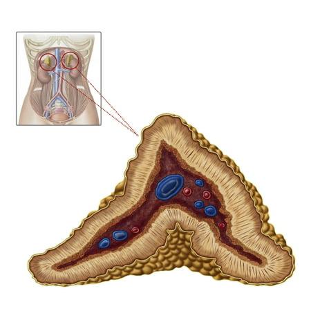 Anatomy Of Adrenal Gland Transverse Section Poster Print Walmart