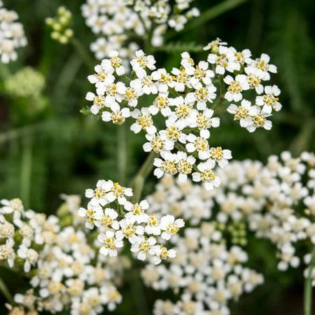 White Yarrow Wildflower Garden & Herb Seeds - 1 Oz - Perennial Wild Flower Herbal Gardening Seeds