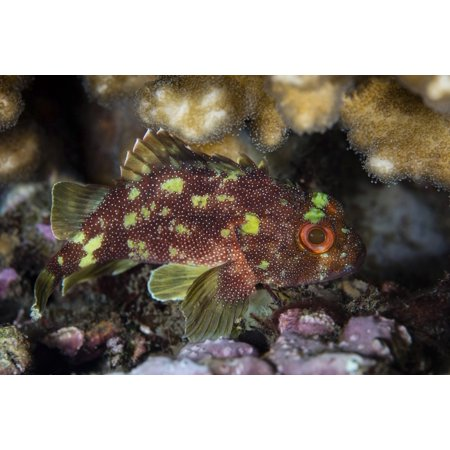 A yellow-spotted scorpionfish hides on a reef in Komodo National Park Poster Print by Ethan DanielsStocktrek Images ()
