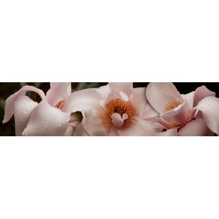 Close Up Of Pink Ladies Flowers Canvas Art Panoramic Images 36 X