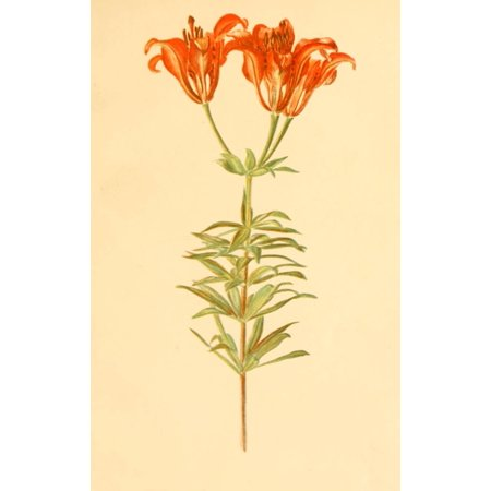 Lilies & Orchids 1906 Wood Lily Canvas Art - Rosina C Boardman (24 x 36)