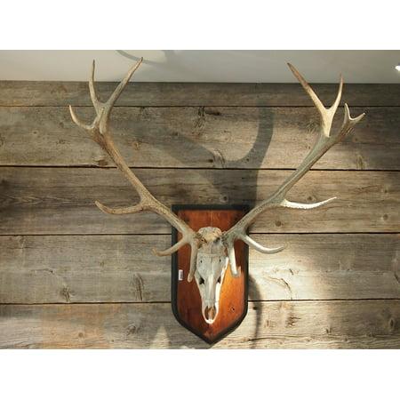 Trophy Hunter (Laminated Poster Wood Wild Trophy Hirsch Antler Hunter House Poster Print 11 x 17 )