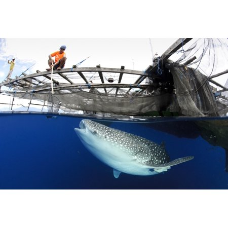 Whale Shark feeding under fishing platform West Papua Canvas Art - Steve JonesStocktrek Images (35 x 23)