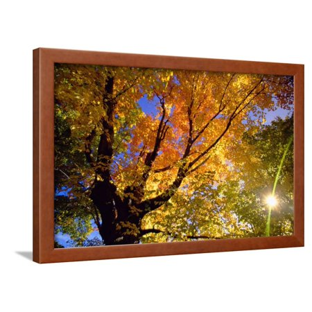 - Sunlight Shining through Sugar Maple Leaf Canopy Framed Print Wall Art By Momatiuk - Eastcott