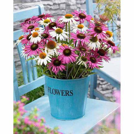 Bloomsz Butterfly Daisy Flower Bulb Blend, Roots / Flower Bulbs 6pk