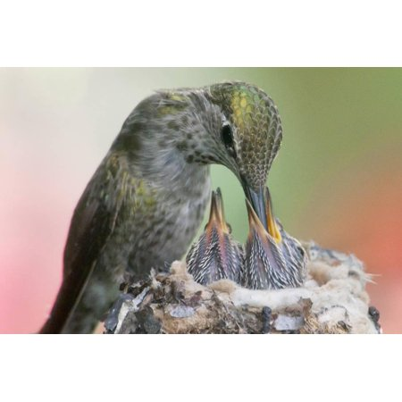 Anna's Hummingbird Feeds Her Chcks in the Nest Print Wall Art By Hal Beral