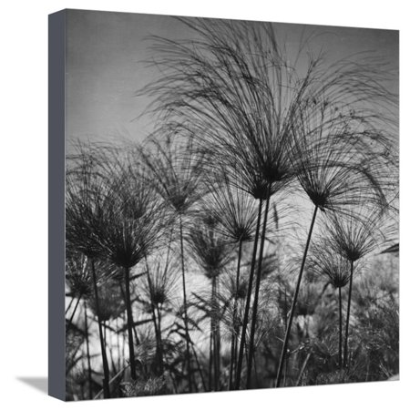 Merom Core (Papyrus at Lake Merom Stretched Canvas Print Wall Art By American Colony Photo )