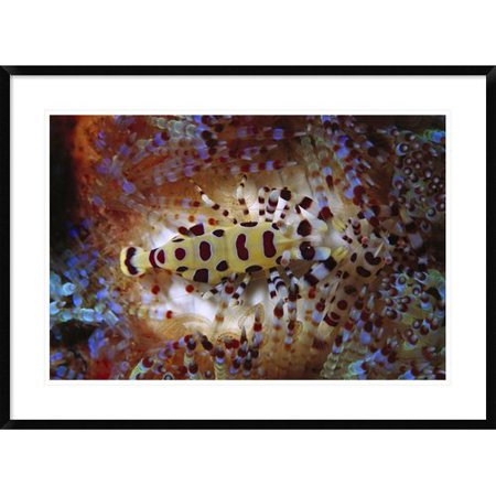 Global Gallery Colemans Shrimp Living Spines Of Venomous Sea Urchin Framed Photographic Print