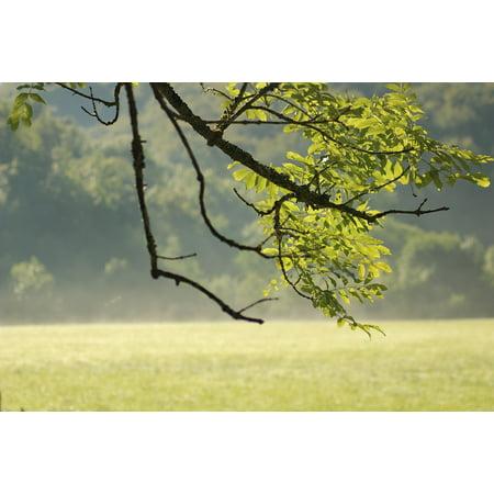 Summer Leaf (Canvas Print Landscape Leaf Mist Green Summer Field Tree Stretched Canvas 10 x 14)