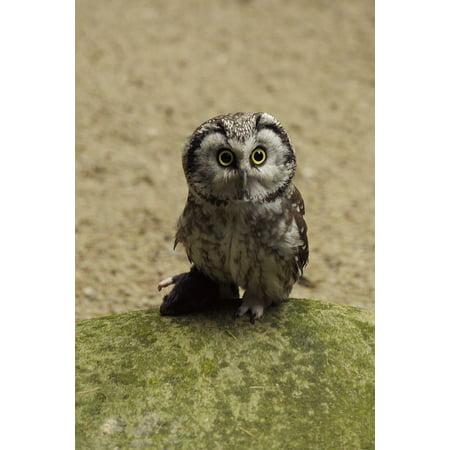 Laminated Poster Tallinn Zoo Owl Bird Eurasian Pygmy Owl Poster Print 24 X 36