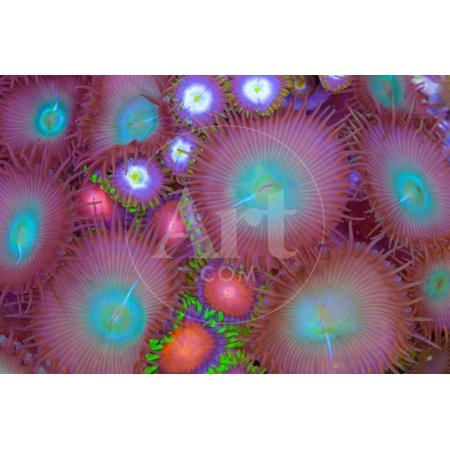 Mixed Zoanthid and Palythoa Print Wall Art By (Best Food For Zoanthids)