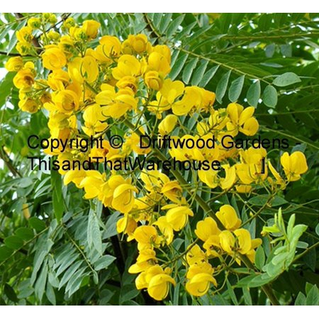Cassia spectabilis tree seeds tropical plant easy fast grower yellow cassia spectabilis tree seeds tropical plant easy fast grower yellow blooms by serendipityseed mightylinksfo
