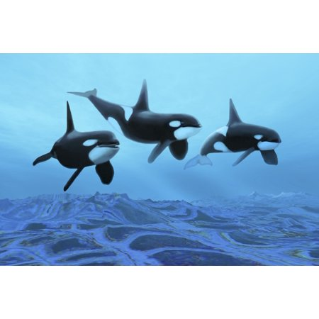 Three male killer whales swim over ancient fossil beds Poster Print ()