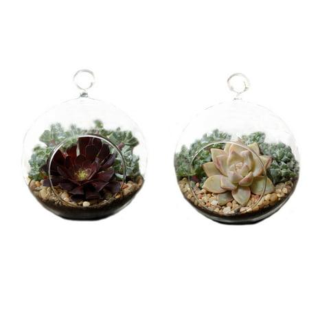 Shop Succulents His & Hers Succulent Mini Globe Pair (Mini Globes)