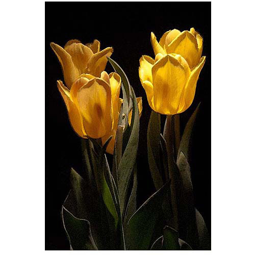 """Trademark Fine Art """"Yellow Blooms II"""" Canvas Art by Martha Guerra, 16x24"""
