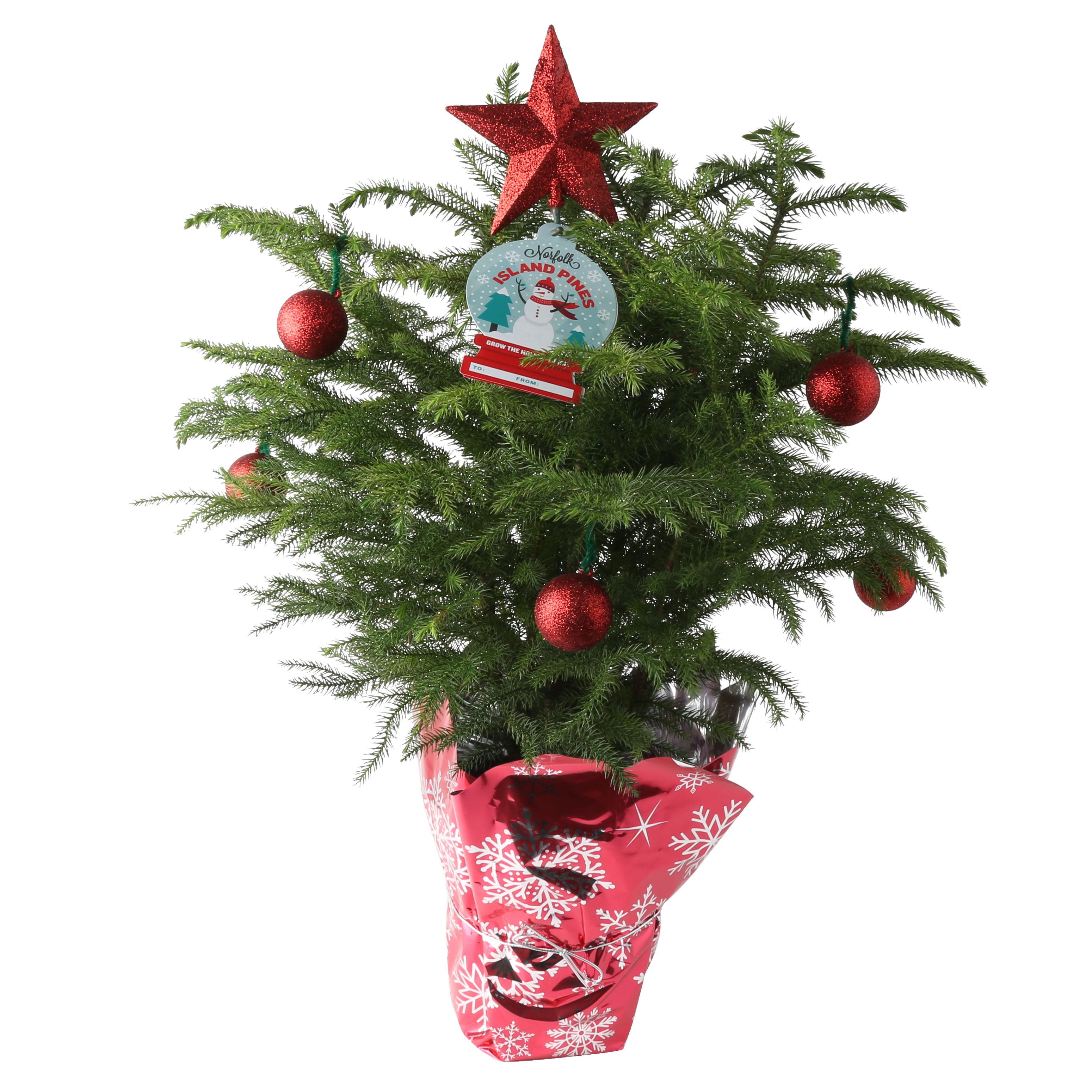 Delray Plants Holiday Norfolk Island Pine - Small Christmas Tree - 2 ...