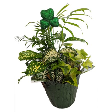 All in 1 House Plant St. Patrick's Day Planter - 3 Different Plants - 4