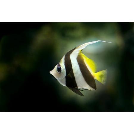 LAMINATED POSTER Pretty Fish Fish Freshwater Fish Angelfish Poster Print 24 x