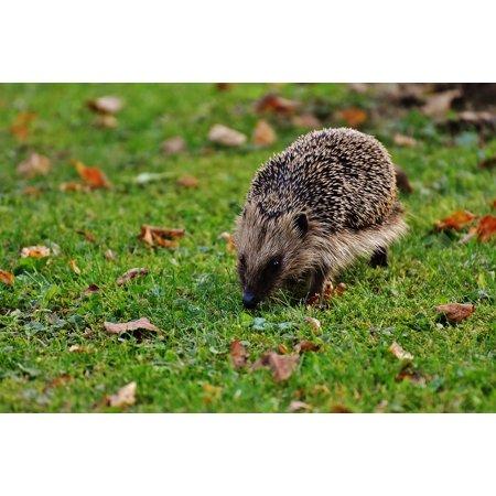LAMINATED POSTER Animal Spur Nature Garden Mammal Hedgehog Hannah Poster Print 24 x (24 Hedgehog)
