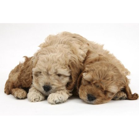 Two Golden Cockerpoo (Cocker Spaniel X Poodle) Puppies Sleeping Print Wall Art By Mark (Cavalier X Cocker Spaniel Puppies For Sale)