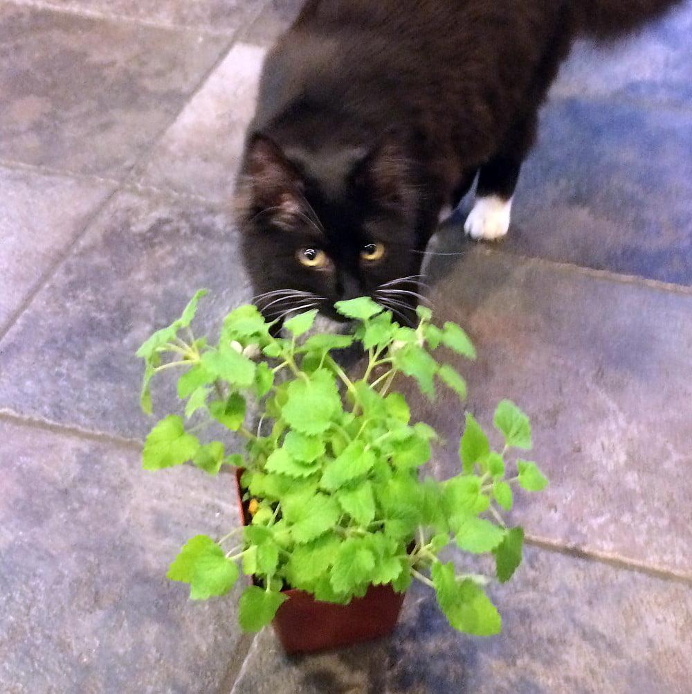 Nepeta 3 Pot INSIDE OR OUTSIDE Catnip Plant
