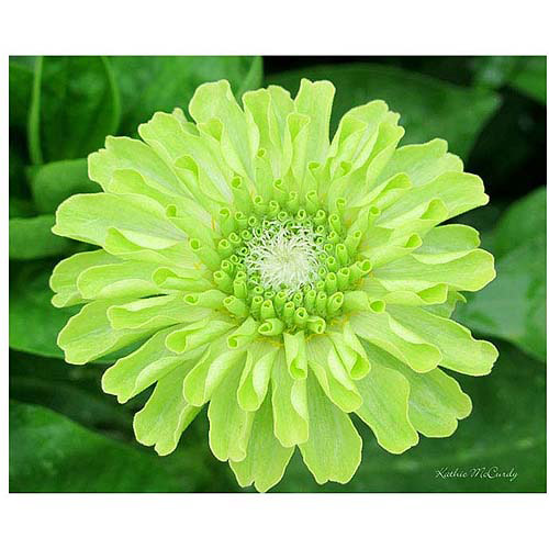 "Trademark Art ""Green Envy Zinnia"" Canvas Art by Kathie McCurdy, 26x32"