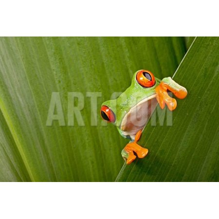 Light In Eye (Red Eyed Tree Frog Peeping Curiously Between Green Leafs In Costa Rica Rainforest Print Wall Art By kikkerdirk )