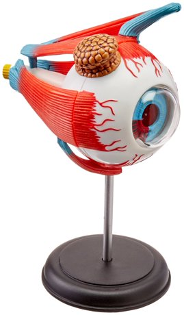Tedco Human Anatomy - Eyeball Anatomy Model