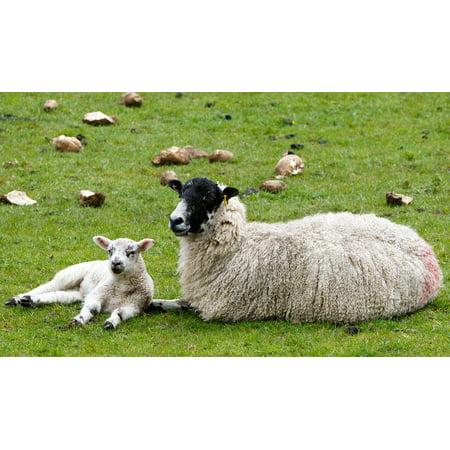 LAMINATED POSTER Agriculture Fleece Woolly Lamb Wool Ewe Sheep Poster Print  24 x 36