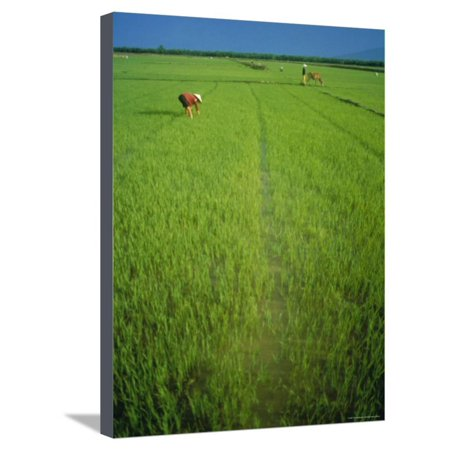 Rice Paddy Fields, Lang Co, Vietnam Stretched Canvas Print Wall Art By Tim (Rice Hull Garden)