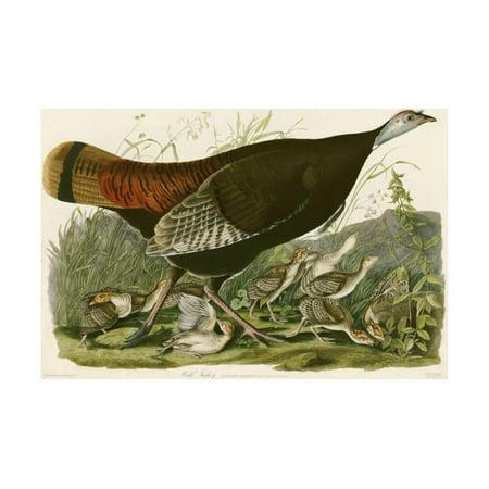 - Wild Turkey Vintage Antique Bird Illustration Print Wall Art By John James Audubon