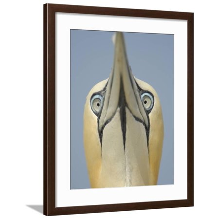 Close Up of the Head of a Northern Gannet During Sky Pointing Courtship Display, Scotland, UK Framed Print Wall Art By Solvin